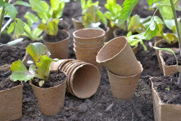 Plántulas de lechuga que crecen en una maceta de turba y otras vacías se ponen en el suelo de un jardín.