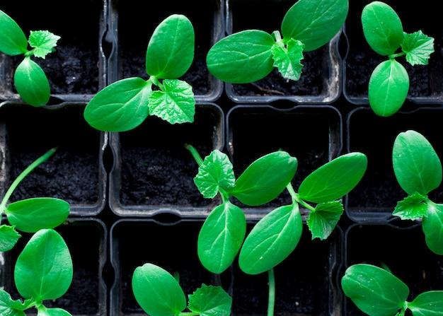 Plántulas de pepinos, pequeños brotes en macetas negras, plantas jóvenes verdes