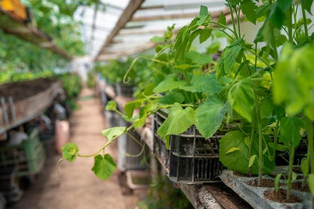 Plántulas de pepinos y tomates en un invernadero en una granja orgánica