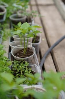 Plántulas de pimiento en un invernadero, invernadero con pimiento, plántulas de pimiento en el suelo de cerca, vista lateral