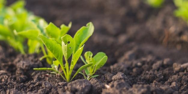 Plántulas de remolacha planta joven hojas verdes en el suelo después de la lluvia en el jardín de su casa