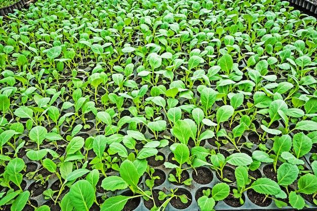 Plántulas de repollo en la bandeja de verduras
