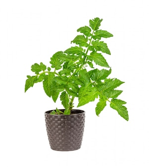 Plántulas de tomate verde en una olla marrón aislada en blanco