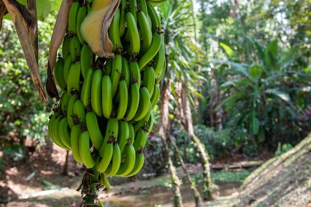 Plátano enano en el patio trasero de la casa mostrando todo el pie