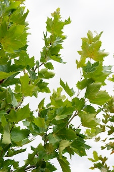 Plátano, hojas y ramas, hoja de sicomoro. platanus orientalis o ramas de árbol de plátano oriental