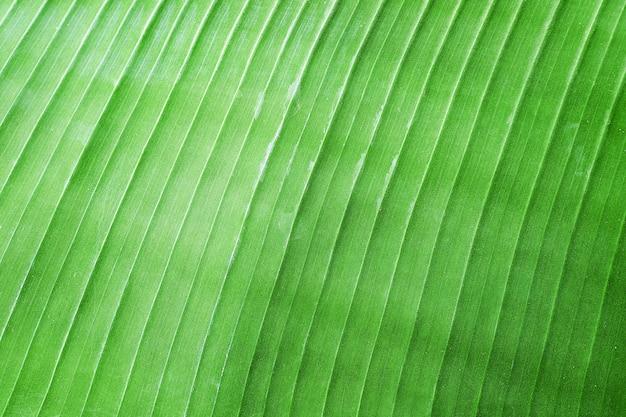 Plátano verde deja fondo de textura de naturaleza