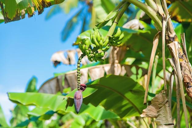 Plátanos que crecen en una palmera.