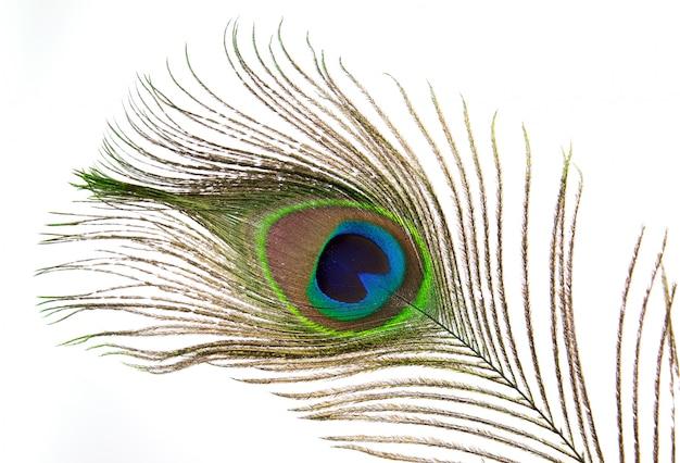 Pluma de pavo real aislada sobre fondo blanco