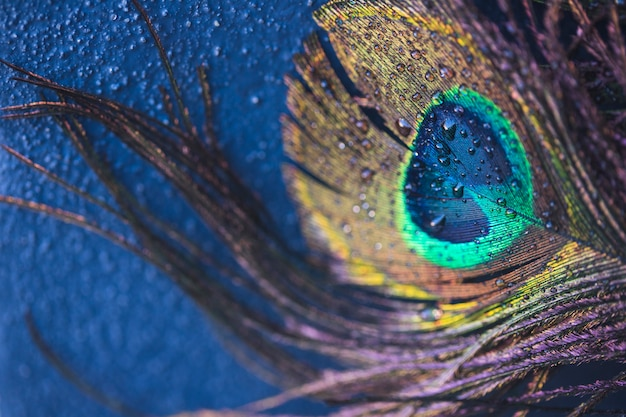 Pluma de pavo real exótica con gotas de agua sobre fondo azul con textura