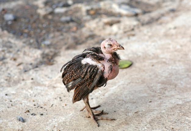 Plumas caen gallinito, pollo enfermedad