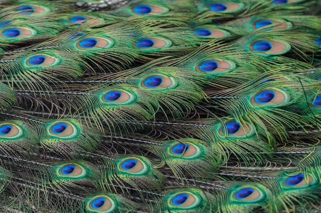 Plumas de pavo real coloridas como fondo o telón de fondo