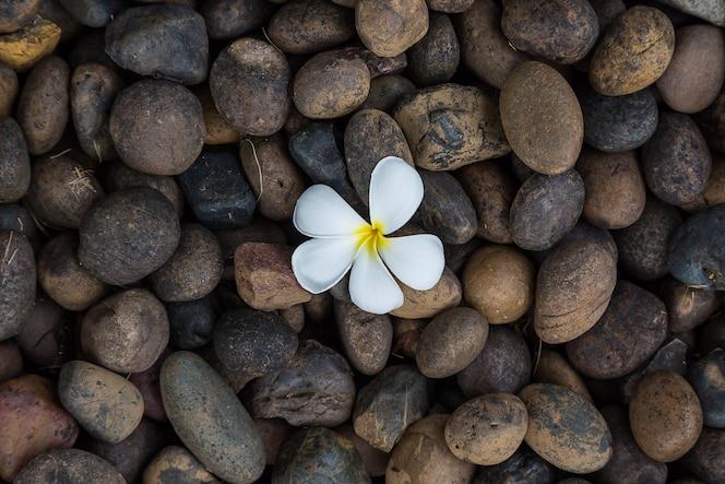 Plumeria o frangipani amarillo de la flor blanca en la roca oscura del guijarro para el fondo del balneario