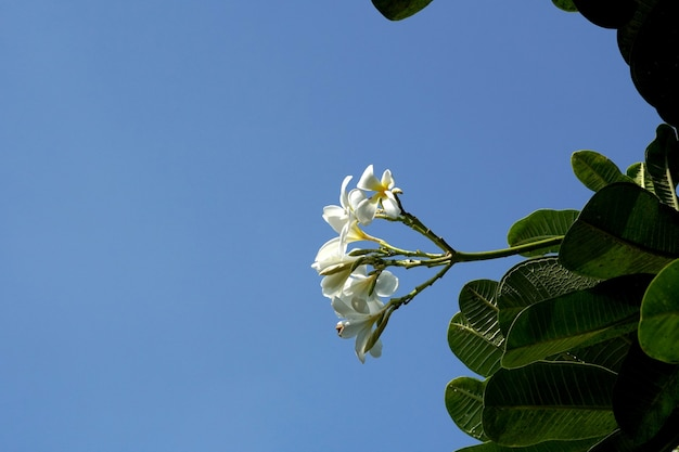 Plumeria obtieneusa flor con fondo de cielo azul
