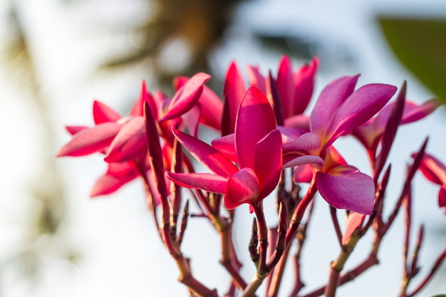 El plumeria rojo florece hermoso, fondo del desenfoque del frangipani