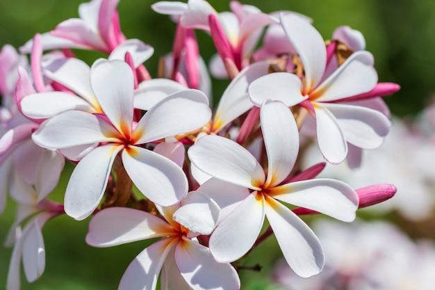 Plumeria spp blanca, rosa y amarilla.