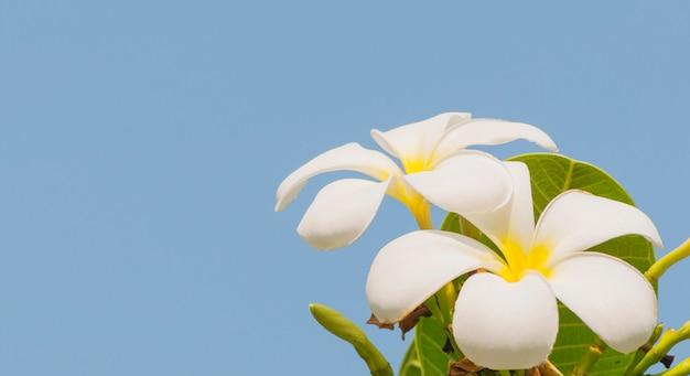 Plumeria en su árbol sobre fondo de cielo azul