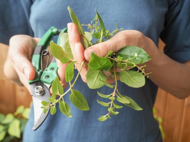 Poda estacional de plantas. tijeras de podar y brotes de plantas en manos del jardinero.planta fucsias reproductoras.