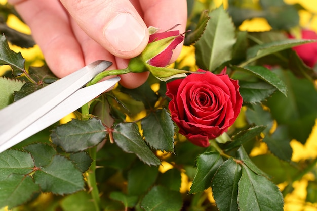 Podando la rosa con tijeras convencionales.
