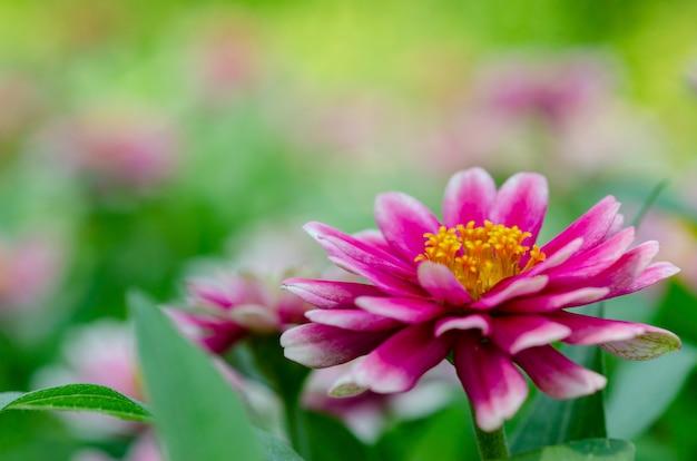 Polen amarillo de la flor con las flores rosadas borrosas con el fondo borroso del modelo