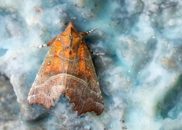 La polilla herald en mineral azul