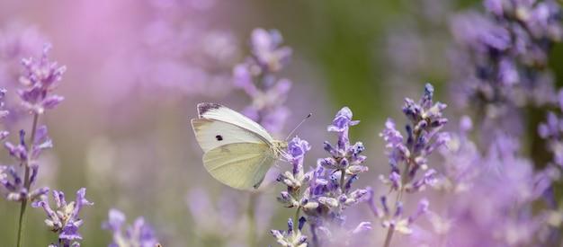Polinización con mariposa y lavanda con sol, lavanda soleada.