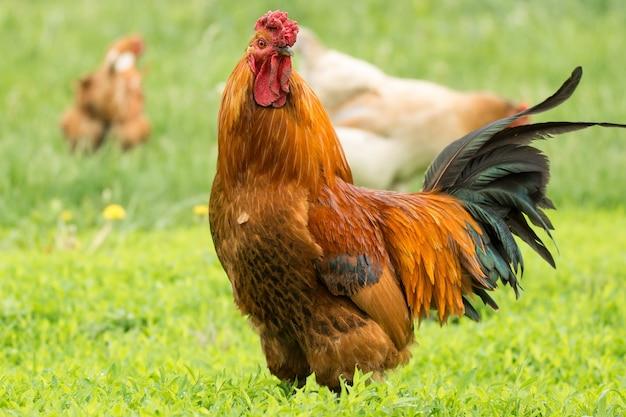 Polla en la hierba