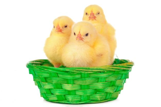 Pollito y huevos en el nido, aislado en el blanco