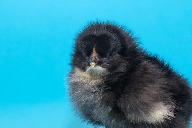 El pollito pequeño, lindo y de pura sangre mira algo sobre un fondo azul
