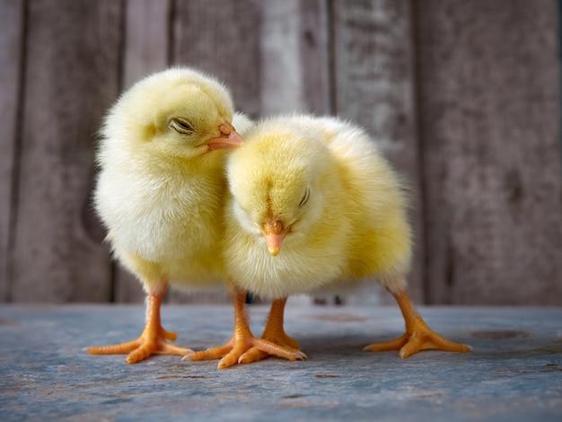 Pollitos amarillos lindos del bebé.