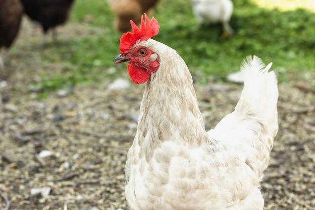 Pollo blanco libre de primer plano en la granja