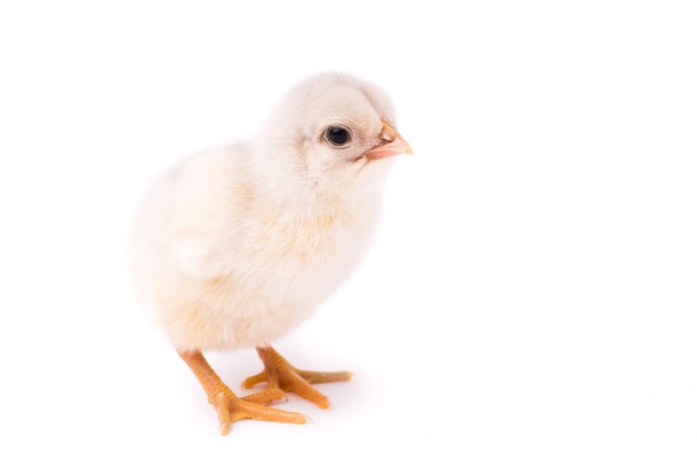 Pollo blanco pequeño aislado