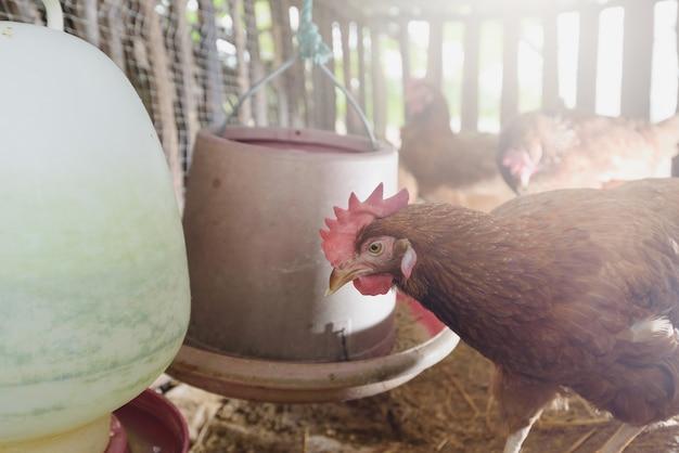 Pollo en la granja local