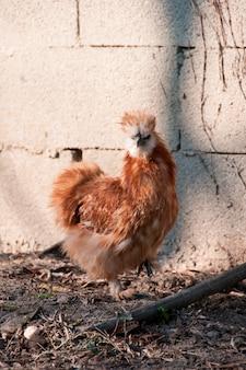 Un pollo en una granja