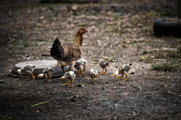 Pollo madre con pollos. aves de corral en gallinero individual