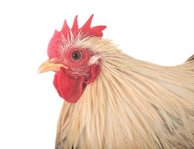 Pollo pekin aislado en blanco