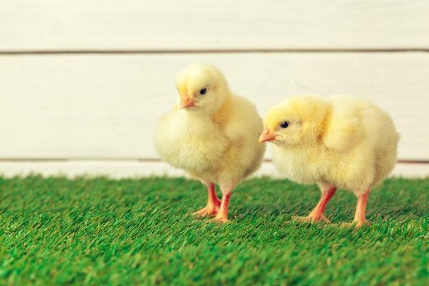Pollo pequeño en la hierba