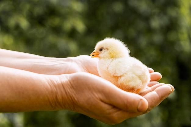 Pollo pequeño en manos