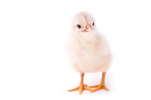 Pollo pequeño