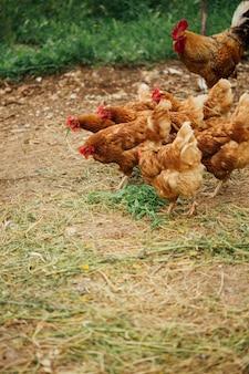 Pollo de tiro medio y gallo en corral.