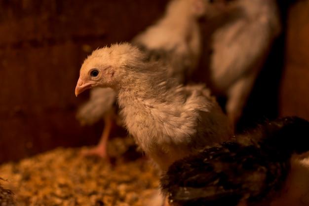 Pollos adorables en un gallinero