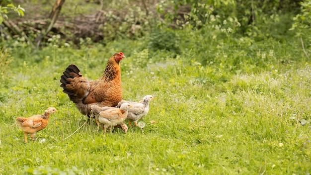Pollos en un campo de hierba