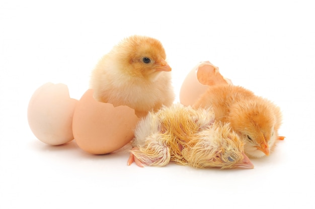 Pollos y cáscaras de huevo