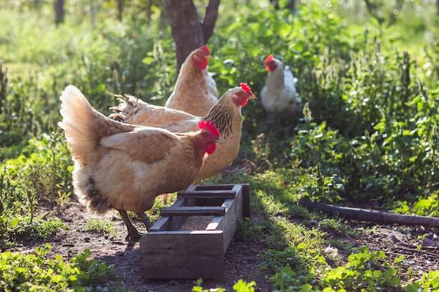 Pollos domésticos en la granja comiendo granos