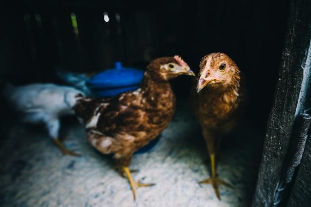 Pollos en el gallinero