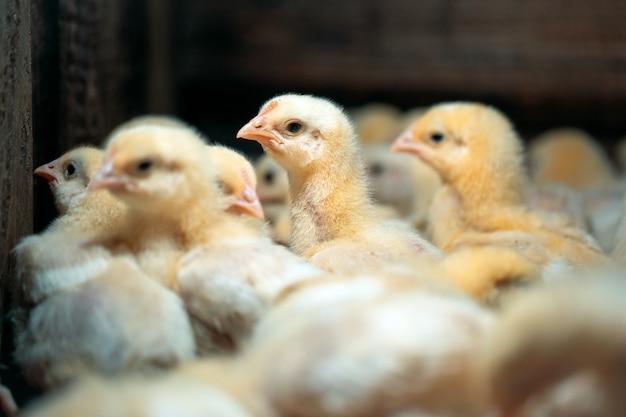 Pollos de pollo de engorde en la granja avícola.