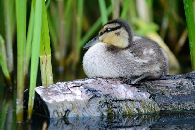 Polluelo de pato salvaje nada en el agua en el río