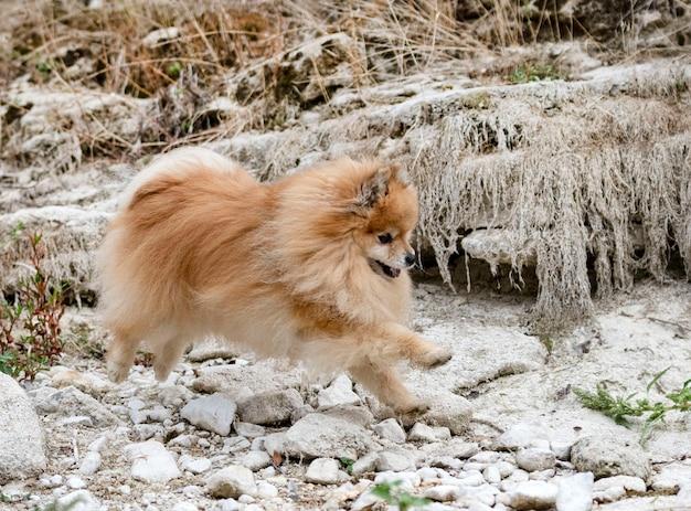 Pomerania joven, imagen en la naturaleza, en otoño