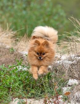 Pomerania joven, imagen en la naturaleza