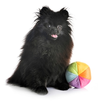 Pomerania negra en estudio