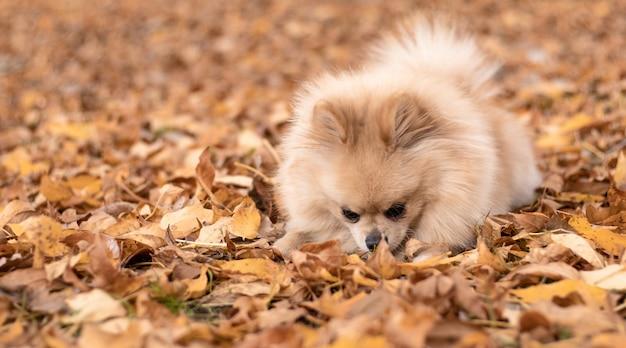 Pomerania spitz a dar un paseo en el parque de otoño.